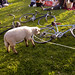 The People In Dolores Park Are Sheep