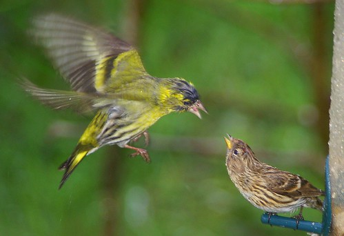 Pentax K100D.55-300mm Lens.Siskin And Redpoll Action In The Rain.April 30th 2010.
