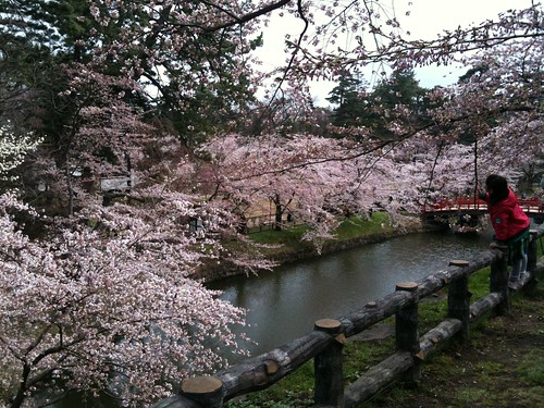 Cherry blossom at Hirosaki Castle