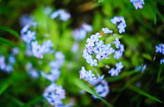 flower, plant, nature, macro photography, wildflower, flora, forget-me-not, meadow,