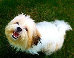 biewer terrier(0.0), bichon(0.0), dog breed(1.0), animal(1.0), dog(1.0), coton de tulear(1.0), lã¶wchen(1.0), tibetan terrier(1.0), havanese(1.0), lhasa apso(1.0), maltese(1.0), carnivoran(1.0),