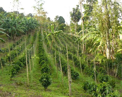 哥倫比亞的咖啡園提供藍鶯棲息。(來源:U. S. Fish and Wildlife Service - Northeast Region)