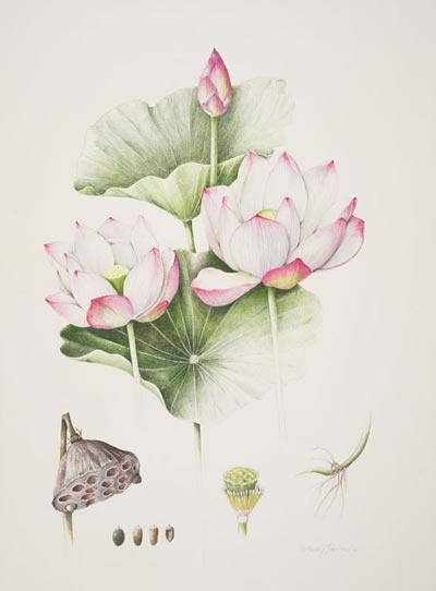 "Nelumbo nucifera 'Double Rose' by Wendy Hollender. Colored pencil on Fabriano, 20"" × 16"". © Copyright Brooklyn Botanic Garden"