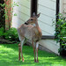 Deer 3014 S Logan Charles Liedtke Home:photo