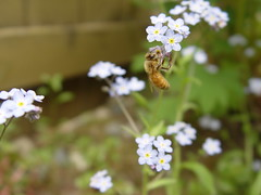 honey bee, flower, plant, invertebrate, insect, macro photography, herb, flora, forget-me-not, bee,