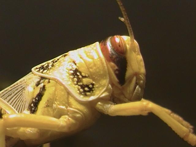 Locust Lizard Food Flickr Photo Sharing