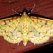 Ironweed Root Moth - Photo (c) kestrel360, some rights reserved (CC BY-NC-ND)