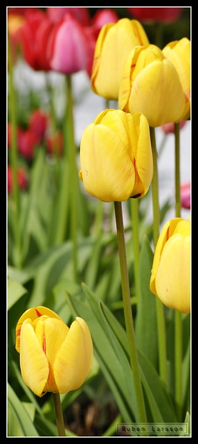 Tulips of 2010