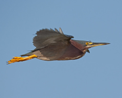 Green Heron In Flight Wakodahatchee Wetlands