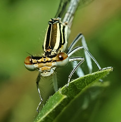 Female White-legged Damselfly, by euthiv