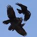 Hrafn / Raven / Corvus Corax.