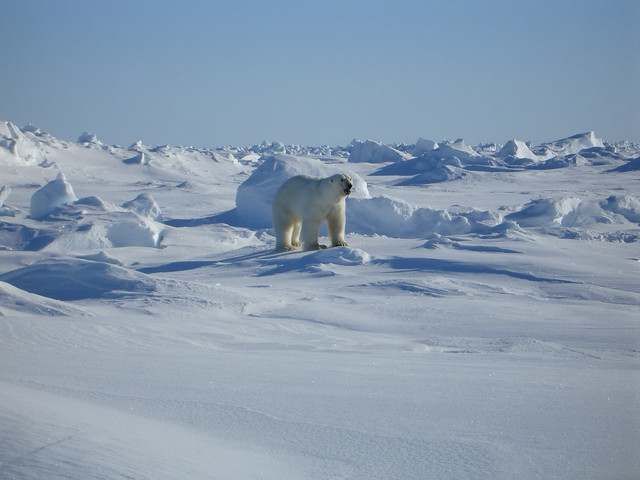 polar bear standing amid arctic ice