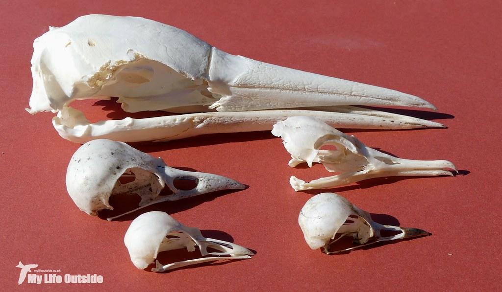 P1090522 - Bird Skulls