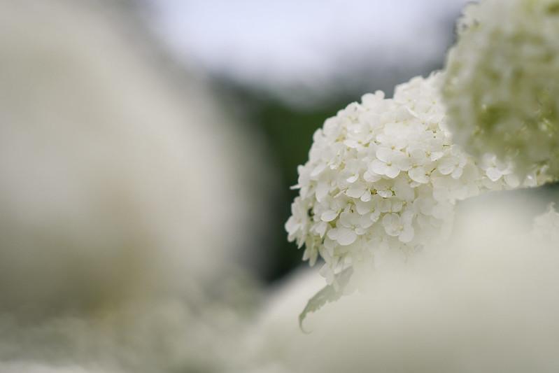 白いアジサイ「アナベル」