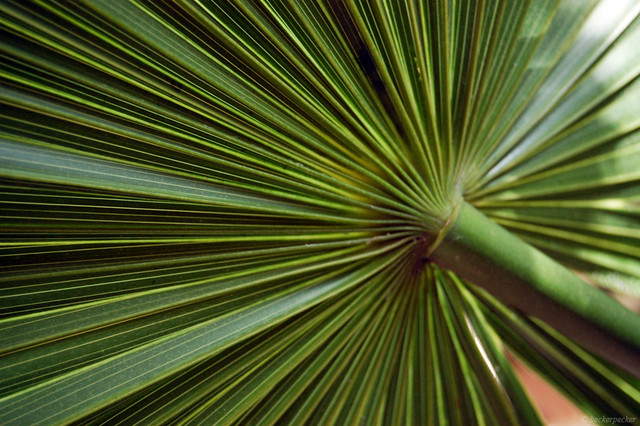 Mexican Fan Palm Leaves