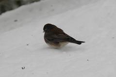 cinclidae(0.0), house sparrow(0.0), brambling(0.0), animal(1.0), sparrow(1.0), winter(1.0), wing(1.0), snow(1.0), fauna(1.0), finch(1.0), junco(1.0), emberizidae(1.0), beak(1.0), bird(1.0), wildlife(1.0),