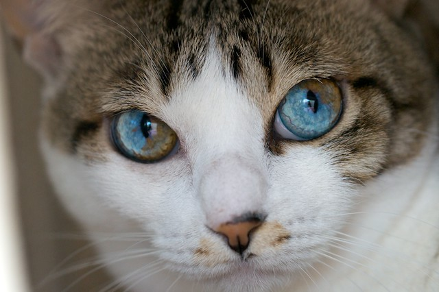 MiA the cat with the two-colored eyes