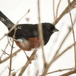 Eastern Towhee (Pipilo erythrophthalmus) Great Backyard Bird Count 2010