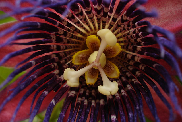 Passion flower blooms in the Aquatic House of the Steinhardt Conservatory.