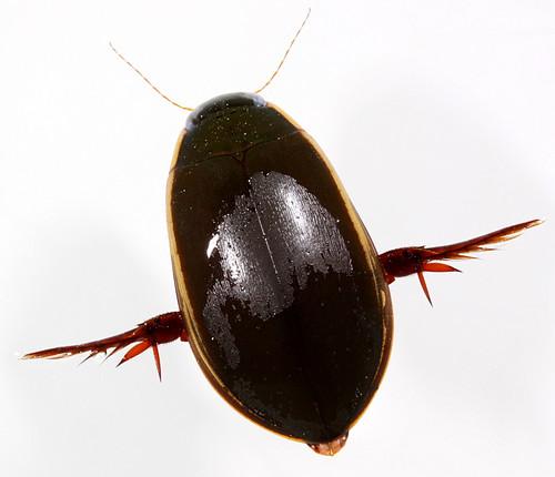 insect coast beetle northcarolina coleoptera eol dytiscidae canonefs60mmf28macrousm specinsect cybister predaceousdivingbeetle cybisterfimbriolatus giantdivingbeetle taxonomy:binomial=cybisterfimbriolatus taxonomy:common=giantdivingbeetle