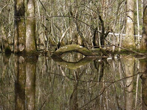 southcarolina swamp stgeorge beaverpond dorchestercounty