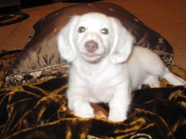 "Caught His Breeze"" Long coat AKC isabella extreme piebald dachshund ..."