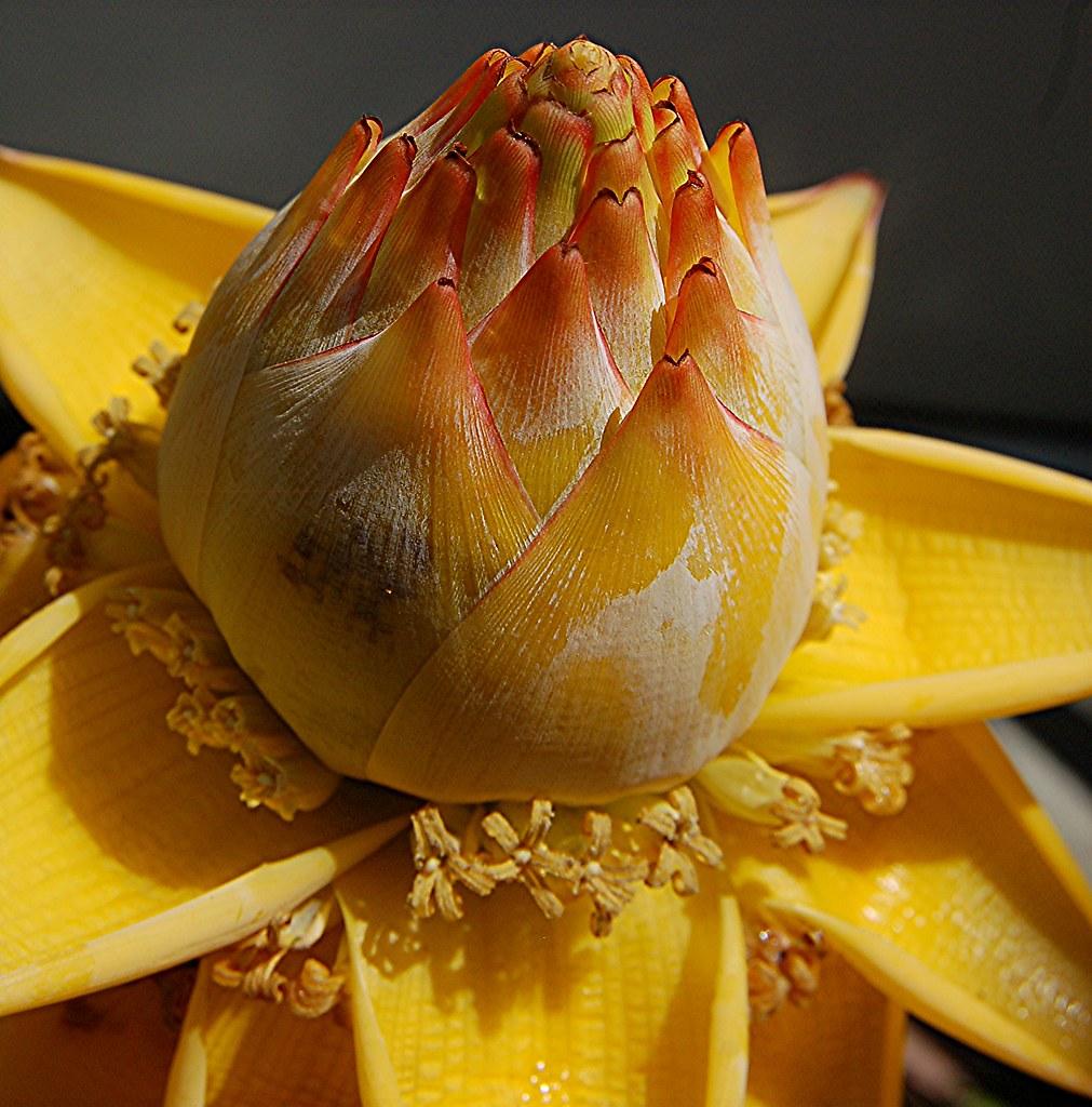 Musella lasiocarpa... Yes, an exotic yellow banana flower