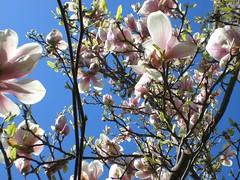 blossom, flower, branch, magnolia, flora, spring,