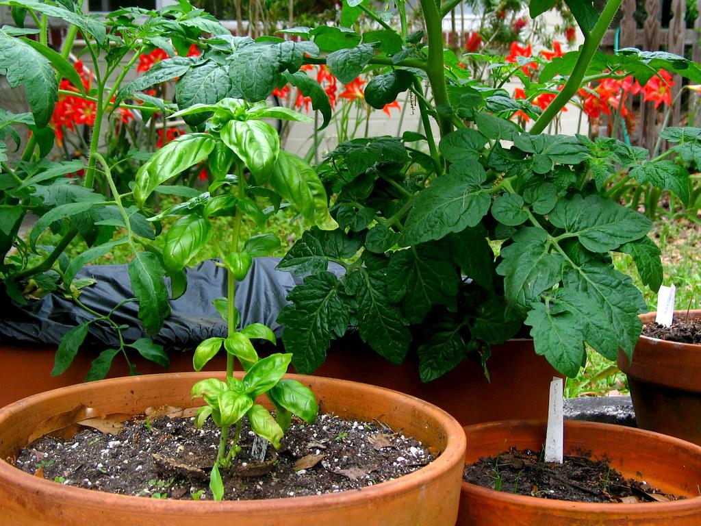 GArden Clay Pots Basil Tomato