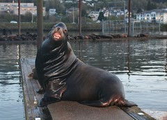 hippopotamus(0.0), walrus(0.0), animal(1.0), seals(1.0), sea lion(1.0), marine mammal(1.0), wildlife(1.0),
