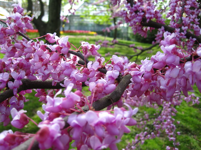 Cercis canadensis, eastern redbud, blooms in early spring when Lily Pool Terrace's tulips are in full flower (in background). Photo by Rebecca Bullene.