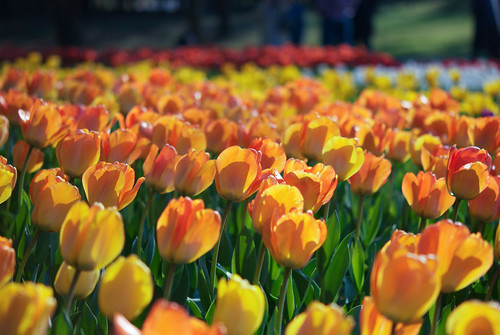 orange flower yellow japan spring nikon tulip 花 ibaraki オレンジ 黄色 チューリップ hitachinaka 茨城 d80 ひたちなか ひたち海浜公園 hitachikaihinpark nikkoemicro60mmf14