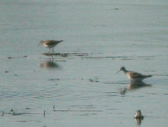 Ruff-Yellowlegs comparison 20100505