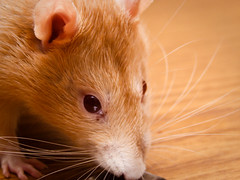 nose, animal, rat, rodent, pet, mouse, hamster, close-up, whiskers, pest,