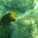 Yellowtail Damselfish - Photo (c) dolma alonso, all rights reserved
