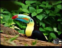flower(0.0), animal(1.0), leaf(1.0), yellow(1.0), toucan(1.0), nature(1.0), macro photography(1.0), flora(1.0), green(1.0), fauna(1.0), close-up(1.0), jungle(1.0), coraciiformes(1.0), beak(1.0), bird(1.0), wildlife(1.0),