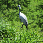 A Demoiselle Crane At The London Wetland Centre.