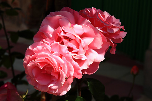 rosas_calatravas