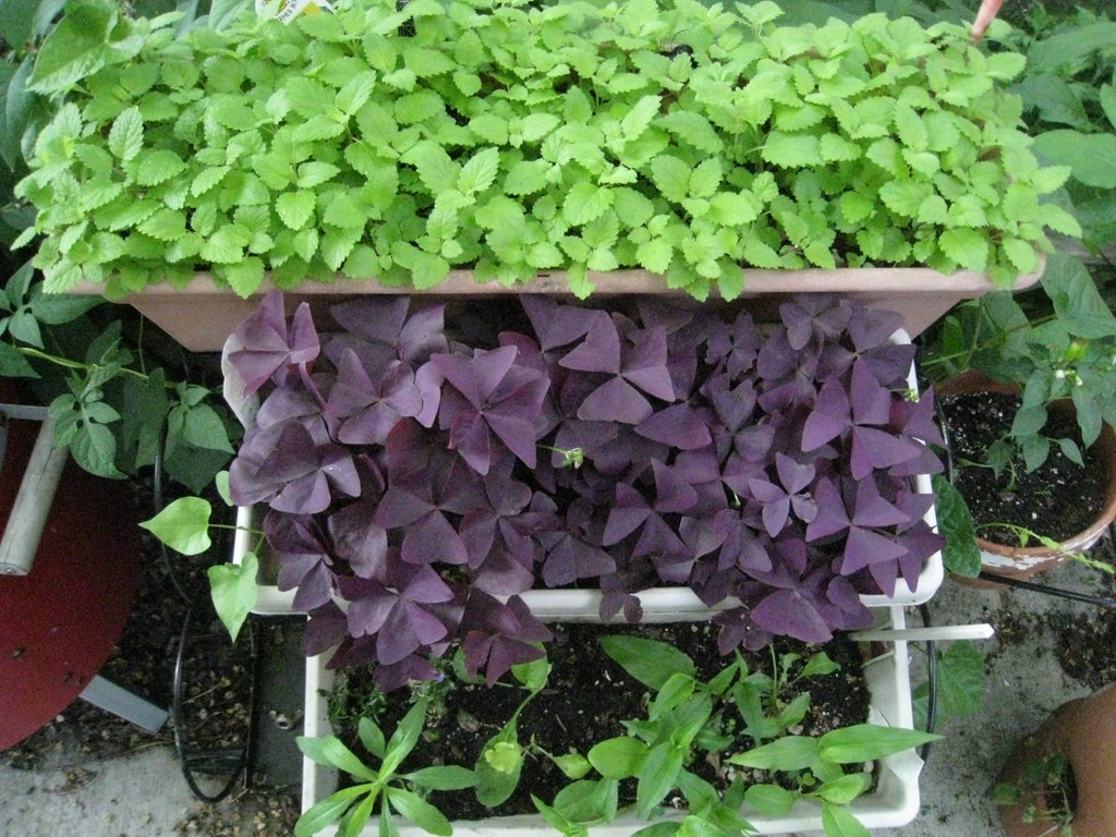 cascade of lemon balm, oxalis, groundcover