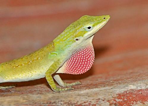 travel red sun animals florida bokeh reptile wildlife lizard anole crosscreek photobenedict