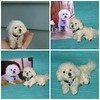 Needle felted Dog ~ Custom Pet Portrait ~ Bichon Frise Maggie by Gourmet Felted