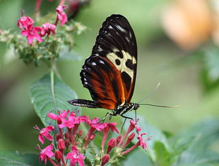 Tiger Longwing Butterfly 28
