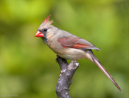 female cardinal by Alida's Photos