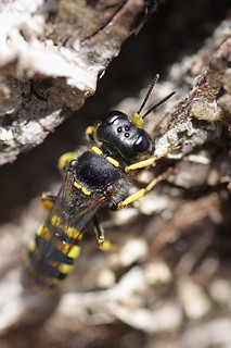 Ectemnius sp digger wasp on tree stump #2