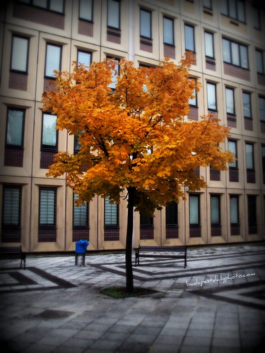 Autumn Golden Yellow Tree | Budapest
