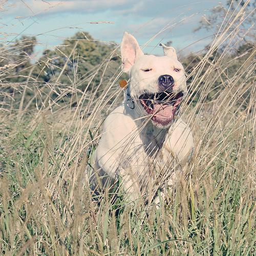 Happy Dog Jumping Dog Jumping Through Tall Grass