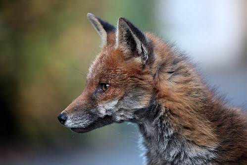 Fox portrait, Somerset Ian Wade
