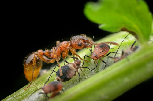 red ant & aphids