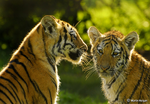 Tiger cubs | Flickr - Photo Sharing!