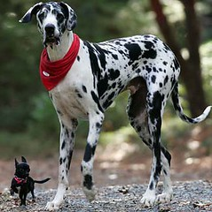 guard dog(0.0), braque d'auvergne(0.0), louisiana catahoula leopard dog(1.0), great dane(1.0), dog breed(1.0), animal(1.0), dog(1.0), pet(1.0), dalmatian(1.0), carnivoran(1.0),